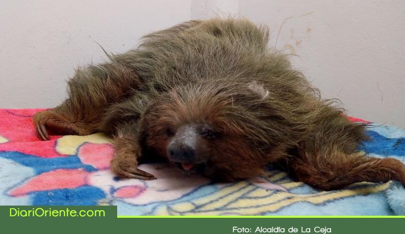 Photo of Bomberos de La Ceja rescataron a un oso perezoso herido