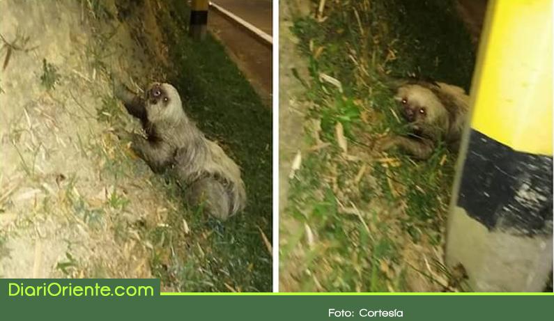 Photo of En La Ceja buscan «Oso Perezoso» en riesgo por perdida de su hábitat.