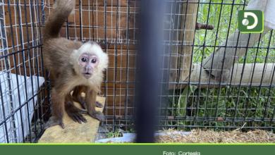 Photo of Autoridades rescatan mono cariblanco de una vivienda en La Ceja