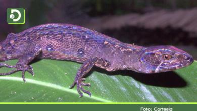 Photo of Biólogos descubren en el Oriente el primer género de reptiles endémico de Colombia.