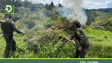 Photo of 600 matas de marihuana fueron erradicadas en la vereda San Bosco de Marinilla
