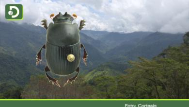 Photo of Científicos descubren una nuevas especies de escarabajo en El Carmen de Viboral