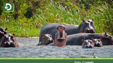 Photo of Científicos recomiendan sacrificar hipopótamos en Antioquia: ya son cerca de 100 ejemplares libres