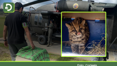 Photo of Vídeo: En helicóptero fue llevado un tigrillo a su hábitat en zona selvática de Sonsón