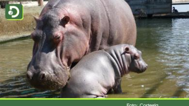 Photo of Biólogos de Cornare prefieren la castración por encima del sacrificio de hipopótamos.