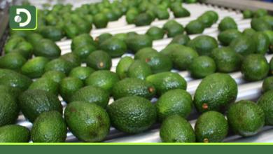 Photo of Antioquia consolida el negocio de producción y comercialización internacional de aguacate Hass