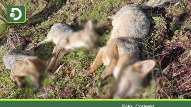 Photo of En dos días fueron encontrados cinco zorros muertos en el municipio de San Vicente