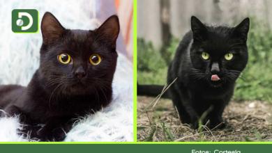 Photo of ¿Por qué no dar gatos negros en adopción en el mes de octubre?