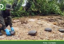 Photo of 28 tortugas hicoteas y 22 tortugas palmera víctimas de tráfico ilegal volvieron a la libertad